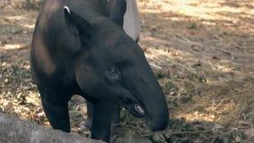 Il tapiro nero e grigio divertente prende la banana appuntata sul bastone video d archivio