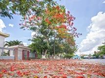 Il tappeto rosso Poinciana reale fiorisce la fioritura fotografia stock