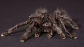 Il Tarantula viola di Pinktoe Immagine Stock