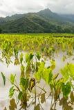 Il taro sistema la valle Kauai Hawai di hanalei Immagini Stock Libere da Diritti