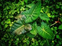Il taro verde va fra l'immagine delle erbe fotografia stock