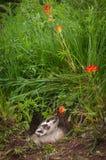 Il tasso nordamericano del Taxidea del tasso annusa il fiore Fotografia Stock