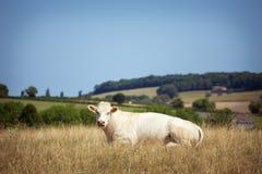 Il tema è l'agricoltura e divorzio del bestiame I supporti bianchi di una mucca, passeggiate sul campo con erba gialla contro del Fotografie Stock
