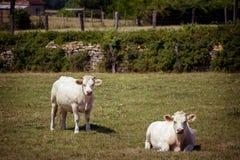 Il tema è l'agricoltura ed il divorzio del bestiame Vari, un gregge della mucca bianca sul campo nella campagna nel villaggio in Fotografia Stock