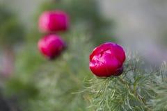 Il tenuifolia di Paeonia, fiore della montagna del prato del wildflower dentro può immagini stock
