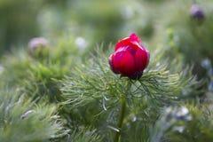 Il tenuifolia di Paeonia, fiore della montagna del prato del wildflower dentro pu? fotografia stock
