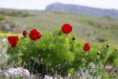 Il tenuifolia di Paeonia, fiore della montagna del prato del wildflower dentro pu? fotografie stock