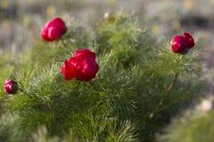 Il tenuifolia di Paeonia, fiore della montagna del prato del wildflower in può al plateau più basso Chatyr-Dag nel tramonto immagini stock