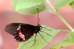 Il terreno comunale è aumentato (farfalla di aristolochiae di Pachliopta) Immagine Stock