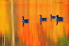 Il terreno comunale Ducks Autumn Pond Fotografie Stock Libere da Diritti