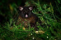 Il terreno comunale Spazzola-ha munito l'opossum di coda - vulpecula del Trichosurus - notturno, marsupiale semi-arboreo dell'Aus immagini stock libere da diritti
