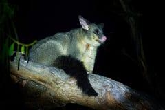 Il terreno comunale Spazzola-ha munito l'opossum di coda - vulpecula del Trichosurus - notturno, marsupiale semi-arboreo dell'Aus fotografia stock