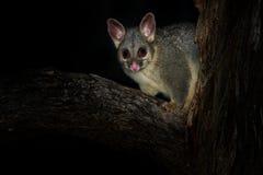 Il terreno comunale Spazzola-ha munito l'opossum di coda - vulpecula del Trichosurus - notturno, marsupiale semi-arboreo dell'Aus immagine stock libera da diritti