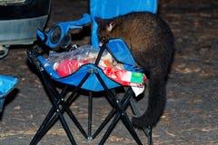 Il terreno comunale Spazzola-ha munito l'opossum di coda - vulpecula del Trichosurus - notturno, marsupiale semi-arboreo dell'Aus fotografie stock