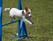 Il terrier del Jack Russell esegue il corso di agilità Immagine Stock
