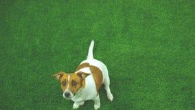Il terrier di Jack russell elemosina alimento per una passeggiata nel giardino stock footage