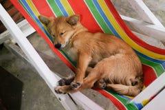 Il Terrier di lingua gallese digiuna addormentato Immagini Stock