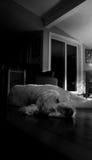 Il Terrier di lingua gallese digiuna addormentato Fotografie Stock Libere da Diritti