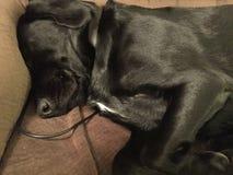 Il Terrier di lingua gallese digiuna addormentato Fotografie Stock
