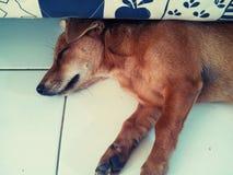 Il Terrier di lingua gallese digiuna addormentato Fotografia Stock Libera da Diritti