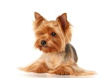 Il Terrier di Yorkshire Fotografie Stock Libere da Diritti