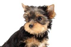 Il terrier di Yorkshire del cucciolo Fotografia Stock