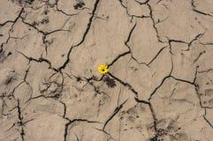 Il tiro verde si sviluppa attraverso terra gialla incrinata asciutta, la nuova vita, la nuova speranza, lo sblocco, rottura da pa Fotografia Stock Libera da Diritti