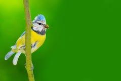 Il Tit blu (caeruleus di Cyanistes). Immagini Stock Libere da Diritti