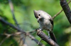 Il Titmouse trapuntato si è appollaiato in un albero Fotografia Stock