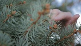 Il tocco maschio della mano un ramo dell'abete video d archivio