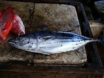 Il tonnetto striato fresly ha preso dai pescatori filippini artigianali Fotografia Stock