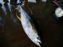 Il tonno albacora fresly ha preso dai pescatori filippini artigianali Immagini Stock