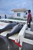 Il tonno sta caricando sopra per trasportare alla fabbrica dei frutti di mare Fotografie Stock Libere da Diritti