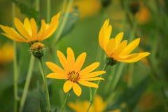 Il topinambur fiorisce la fioritura con la stagione piacevole Fotografia Stock Libera da Diritti