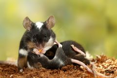 Il topo decorativo in bianco e nero del primo piano mangia le carote, allatta al seno la prole e l'esame della macchina fotografi fotografie stock