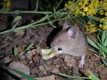 Il topo dell'arvicola del campo mangia i chip nello scuro fotografie stock libere da diritti