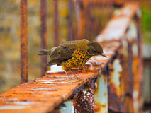Il tordo di Malvinas Fotografie Stock