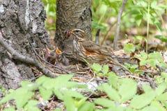 Il tordo sassello alimenta i piccoli pulcini con i lombrici nel nido situato sulla terra Fotografie Stock