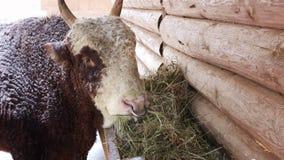 Il toro che mangia fieno dalla depressione archivi video