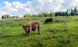 Il toro marrone solido di Galloway guarda il fotografo Fotografia Stock