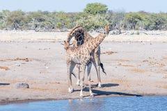 Il toro namibiano della giraffa verifica lo stato riproduttivo di un fema fotografie stock libere da diritti