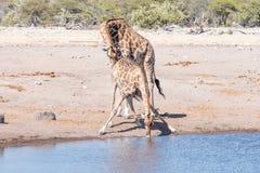 Il toro namibiano della giraffa verifica lo stato riproduttivo di un fema fotografia stock