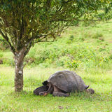 Il Tortoise gigante del Galapagos Immagine Stock