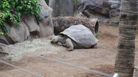 Il Tortoise gigante del Galapagos video d archivio