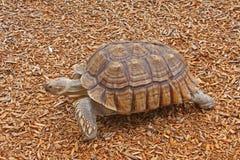 Il Tortoise stimolato africano su truciolo dentro una sosta Immagini Stock