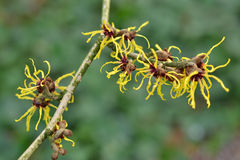 Il toverhazelaar in pieno nella fioritura. Fotografie Stock Libere da Diritti