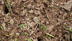 Il trambusto delle formiche in un formicaio stock footage