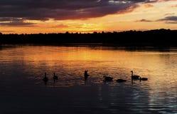 Il tramonto che profila le oche facciabianche ha riflesso nelle ondulazioni di un lago Fotografie Stock