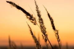 Il tramonto e la bella siluetta di alta erba inclinano immagini stock libere da diritti