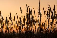 Il tramonto e la bella siluetta di alta erba inclinano immagini stock